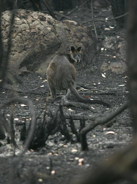Animal「Grampians Bushfire Aftermath」:写真・画像(6)[壁紙.com]
