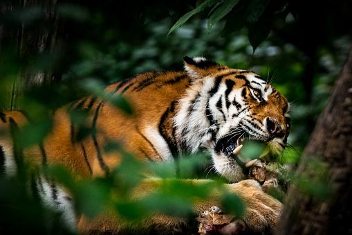 Tiger「Tiger eating prey hidden in dense vegetation」:スマホ壁紙(17)