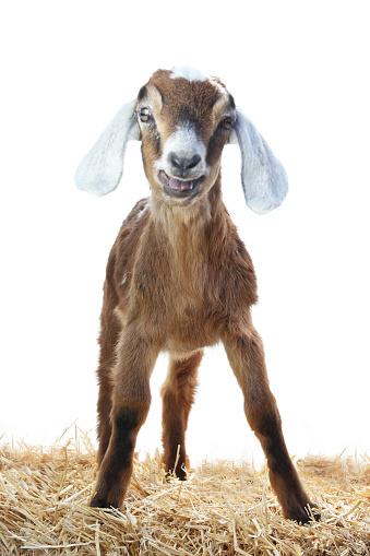 Animal Ear「Baby Nubian goat standing on hay.」:スマホ壁紙(10)