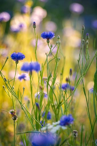 Wildflower「Summer flowers meadow in the morning」:スマホ壁紙(10)