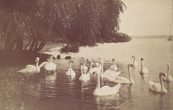 Water's Edge「Swans On The Water」:写真・画像(6)[壁紙.com]