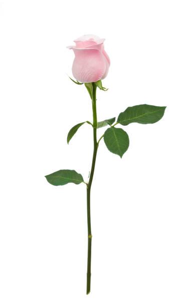 Isolated Pink Rose XL:スマホ壁紙(壁紙.com)