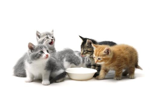 Baby animal「Kittens Eating From Animal Food Bowl」:スマホ壁紙(14)