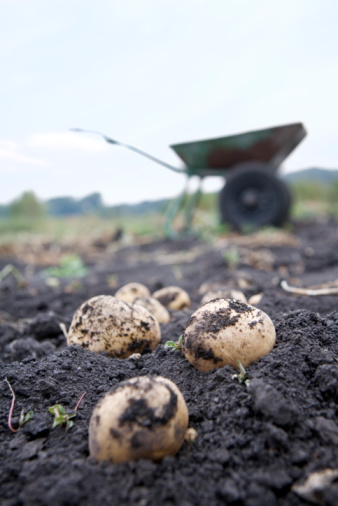 Digging「still life of dug out potatoes」:スマホ壁紙(18)