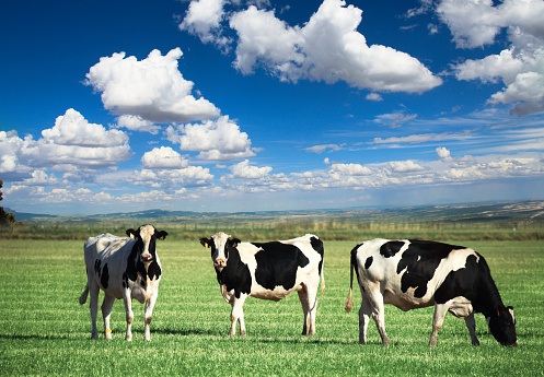Cow「Three cows」:スマホ壁紙(4)