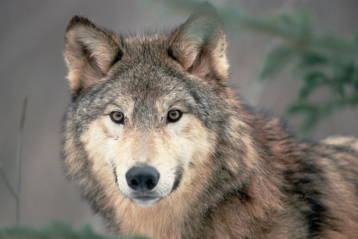 1990-1999「Head of a Gray Wolf」:スマホ壁紙(14)