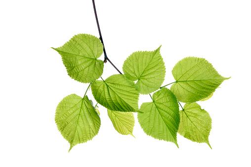 Twig「Lime tree, Tilia spec., leaves against white background」:スマホ壁紙(15)