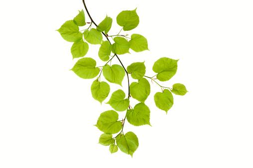 Branch - Plant Part「Lime tree, Tilia, leaves against white background」:スマホ壁紙(0)