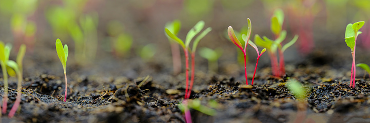 Organic Farm「Fresh young green, yellow and red chard vegetable seedlings having just germinated in soil slowly rise above the soil with a very shallow depth of field.」:スマホ壁紙(17)
