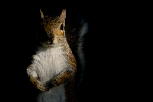 Eastern Gray Squirrel「Gray squirrel (Sciurus carolinensis) looking at camera, night」:スマホ壁紙(13)