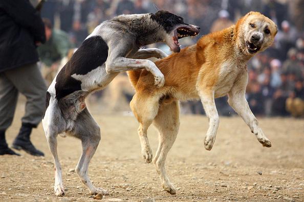 Aggression「Afghan Dog Fighting Makes Resurgence After Taliban Rule」:写真・画像(11)[壁紙.com]