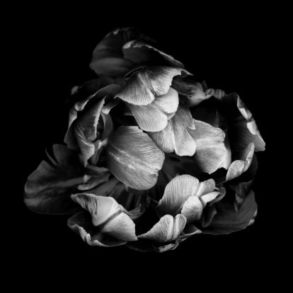 Individuality「Monochrome double tulip isolated against a black background」:スマホ壁紙(6)