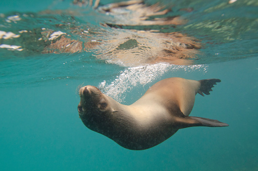 Sea Lion「A Sea Lion Swimming Under The Water's Surface; Galapagos, Equador」:スマホ壁紙(1)