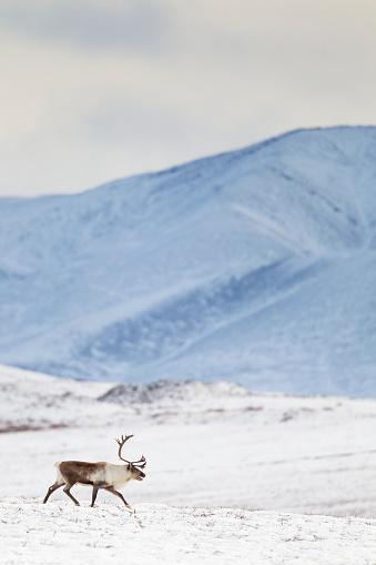 reindeer「Bull caribou on snowy tundra」:スマホ壁紙(6)