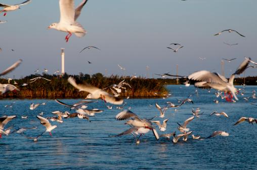Flock Of Birds「Italy, Porto Tolle, seagulls in flight」:スマホ壁紙(7)