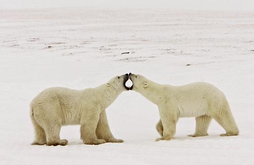 Polar Bear「Jawing Polar Bears」:スマホ壁紙(3)