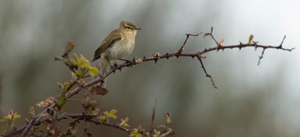 Calais「Chiffchaff warbler」:スマホ壁紙(1)