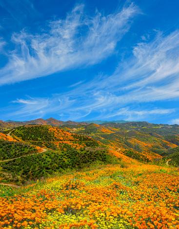Wildflower「Poppy super bloom at Walker Canyon Lake Elsinore, CA (P)」:スマホ壁紙(11)
