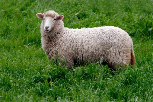 Animal Ear「Sheep」:スマホ壁紙(1)
