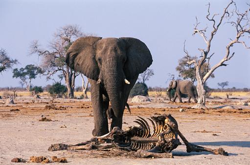 背景「Elephant bull and carcass of a companions, Savuti」:スマホ壁紙(7)