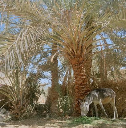 El Siwa「Donkey (Equus asinus) eating grass under palm trees」:スマホ壁紙(3)