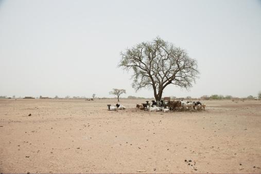 Single Tree「Cattle standing under a tree」:スマホ壁紙(18)