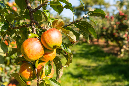 Branch - Plant Part「Apple Laxton fruit on tree. Norfolk.UK」:スマホ壁紙(13)