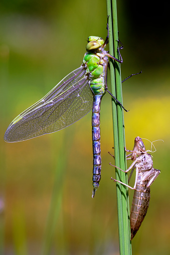 Dragonfly「Emperor Dragonfly (Anax imperator) and exuvia after metamorphosis on aquatic plant」:スマホ壁紙(7)