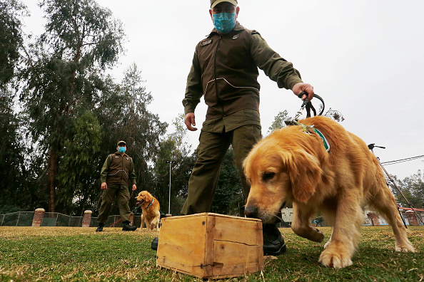 Smelling「Dogs Trained To Detect Signs Of Coronavirus In Chile」:写真・画像(10)[壁紙.com]