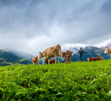 Walking「cows walking on alp with farmer」:スマホ壁紙(11)