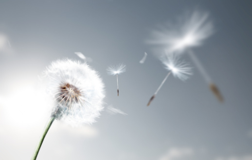 Wind「Dandelion Flying」:スマホ壁紙(9)