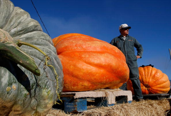Large「California Growers Compete For Largest Pumpkin Honors」:写真・画像(15)[壁紙.com]