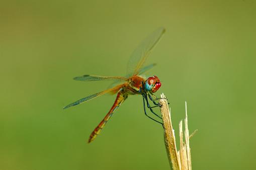 Dragonfly「Beautiful red dragonfly on a stem」:スマホ壁紙(0)