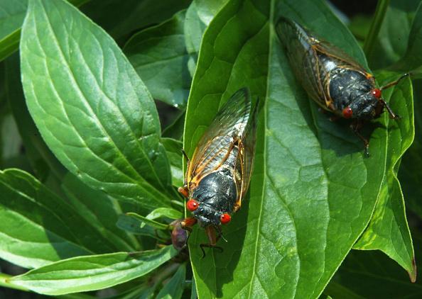 Adult「Cicadas Start To Emerge After 17-Year Slumber」:写真・画像(6)[壁紙.com]