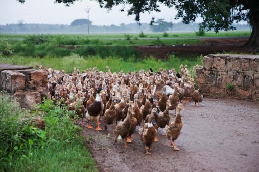 Walking「Ducks (Anatidae) entering farm Theni, Tamil Nadu, India.」:スマホ壁紙(3)