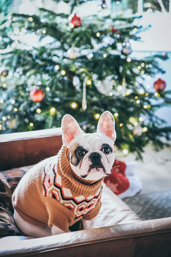 Sweater「French Bulldog wearing a Christmas sweater posing in front of Christmas tree」:スマホ壁紙(0)
