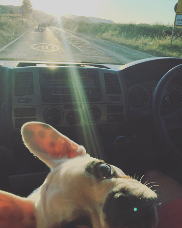 Unrecognizable Person「French Bulldog puppy traveling in a car , England」:スマホ壁紙(8)
