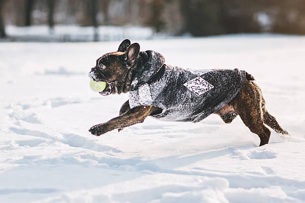 French bulldog running on snow:スマホ壁紙(壁紙.com)