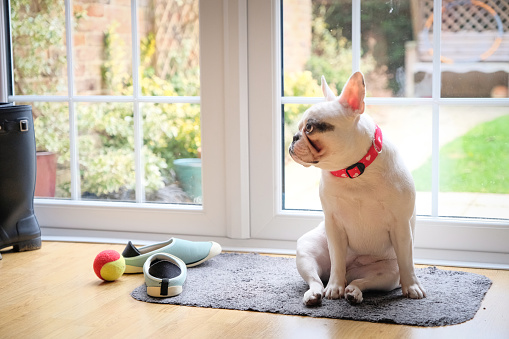 Looking Away「French Bulldog puppy patiently waiting by the door to go out」:スマホ壁紙(1)