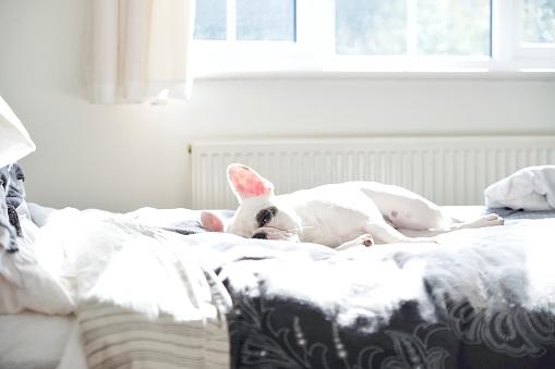 Baby animal「French Bulldog sleeping on bed」:スマホ壁紙(8)