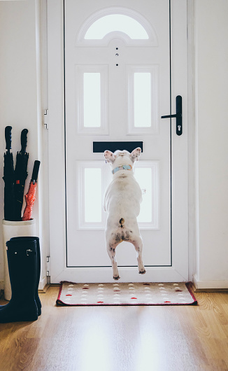 Mischief「French Bulldog rushing to the door for postman delivering mail」:スマホ壁紙(9)