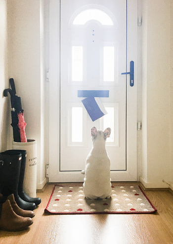 Working「French Bulldog puppy staring at the mail came through the mail slot on the front door of an English home, England」:スマホ壁紙(1)