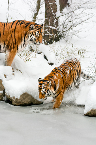 Tiger「Two tigers on coast of frozen pond at winter day」:スマホ壁紙(17)