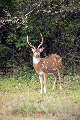 Horned「An Axis Deer standing by the bush」:スマホ壁紙(3)