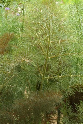 Fennel「bronze fennel」:スマホ壁紙(19)