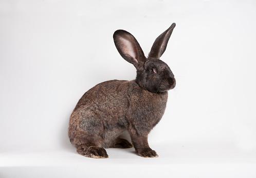 Animal Ear「Brown rabbit in front of white background」:スマホ壁紙(6)